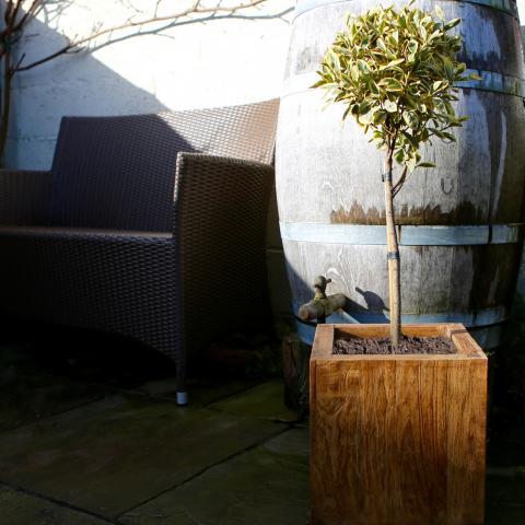 Clifton Nurseries Euonymus japonicus Bravo Mini-MIni Standard
