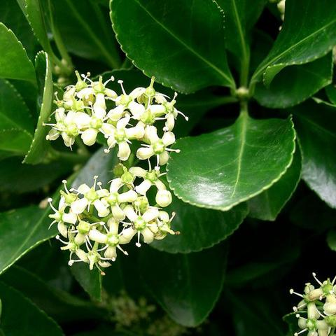 Clifton Nurseries - Euonymus japonicus - Flower