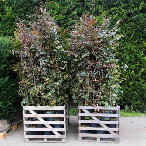Clifton Nurseries Fagus sylvatica atropurpurea - 5L