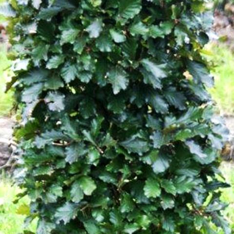 Clifton Nurseries Fagus sylvatica purpurea instant hedging units - foliage
