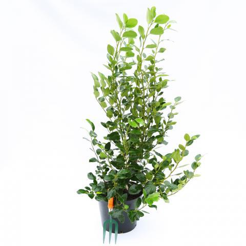 Clifton Nurseries - Griselinnia littoralis Green Horizon 10 Litre