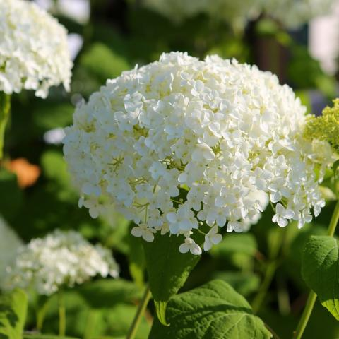 Clifton Nurseries Hydrangea arborescens Annabelle flower