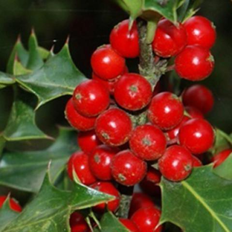 Clifton Nurseries Ilex aquifolium - Fruit