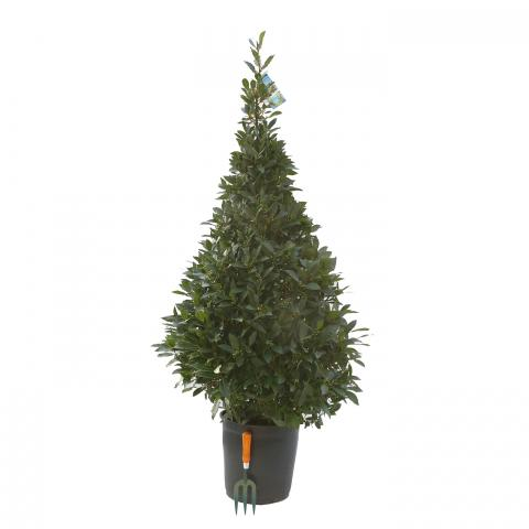 Clifton Nurseries Laurus nobilis 150cm Cone