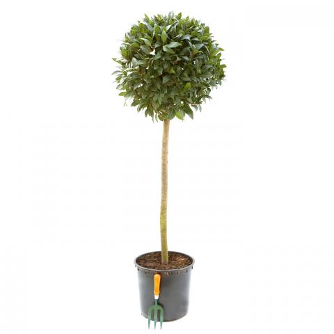 Clifton Nurseries Laurus nobilis Half Standard Diameter 50cm Stem 90cm