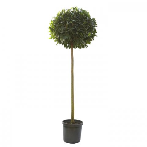 Clifton Nurseries Laurus nobilis Half Standard Diameter 65cm Stem 120cm