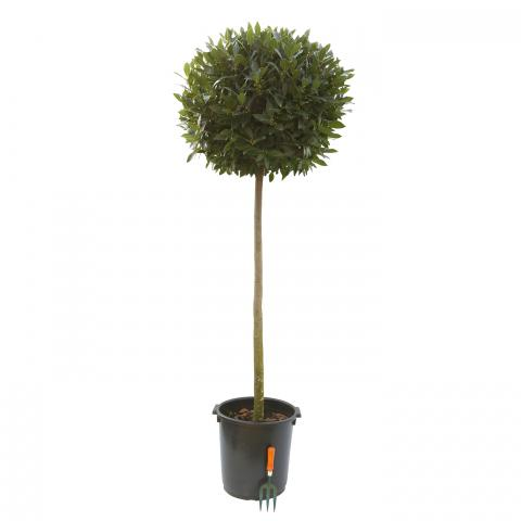 Clifton Nurseries Laurus nobilis Half Standard Diameter 75cm Stem 120cm