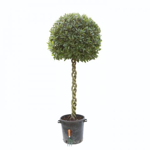 Clifton Nurseries Laurus nobilis Triple Corkscrew