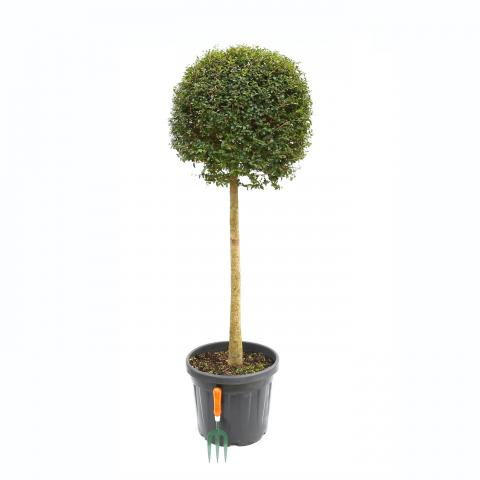 Clifton Nurseries Ligustrum jonandrum Half Standard