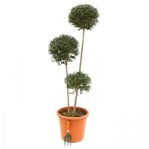 Clifton Nurseries Ligustrum jonandrum Pompoms