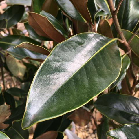 Gavin Jones Magnolia grandiflora Little Gem