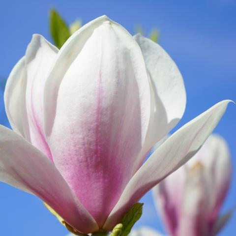 Clifton Nurseries Magnolia Soulangeana