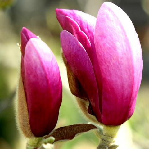 Clifton Nurseries Magnolia soulangeana Susan