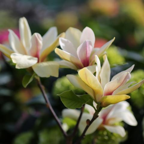 Clifton Nurseries - Magnolia Sunsation