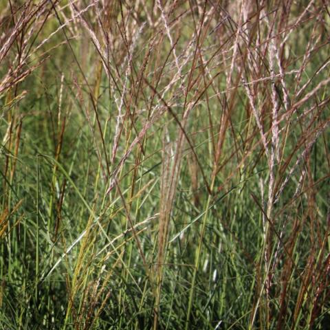 Clifton Nurseries Miscanthus Kleine Silberspinne