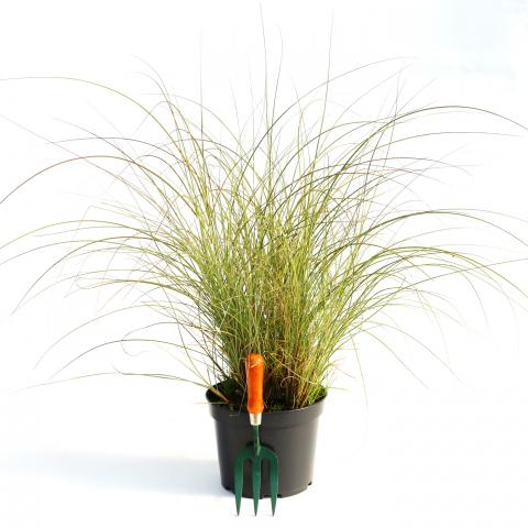 Clifton Nurseries Miscanthus sinensis Morning Light - 5LT