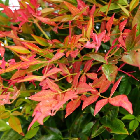 Clifton Nurseries Nandina domestica Gulf Stream 10L - leaf