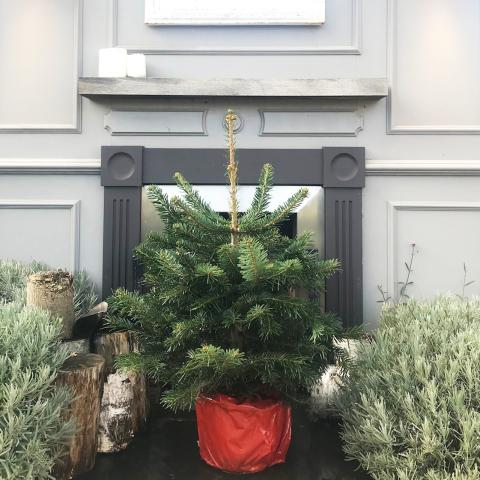 2ft Nordmann Fir Potted Christmas Tree at Clifton Nurseries