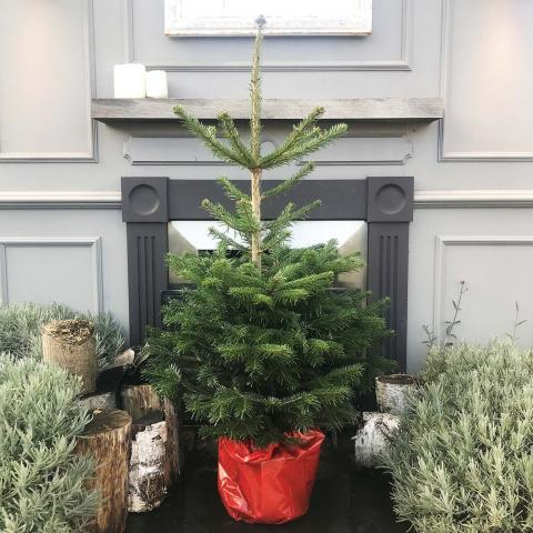 Nordmann Fir Potted Christmas Tree at Clifton Nurseries