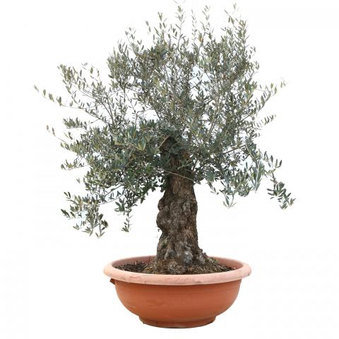 Clifton Nurseries Olea europaea - Bonsai Olive in Large Terra Bowl