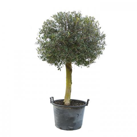 Clifton Nurseries Olea europaea Half Standard Ball Head