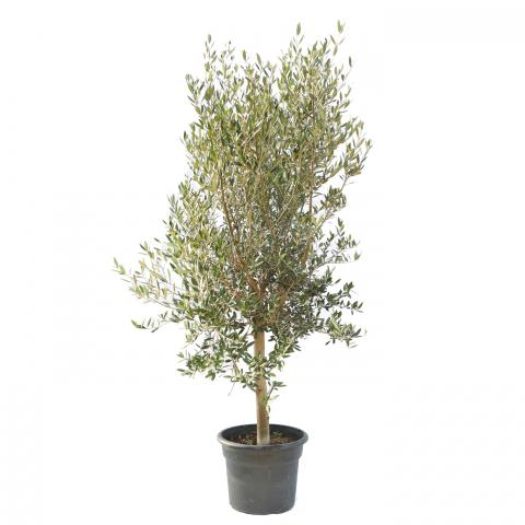 Clifton Nurseries Olea europaea Quarter Standard