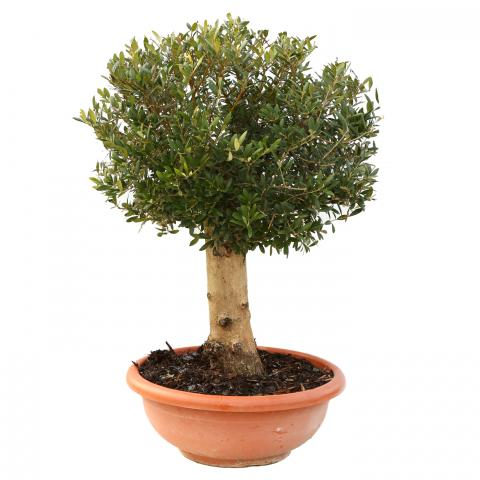 Clifton Nurseries Olea europaea Smooth Trunk in Smooth Terra Bowl