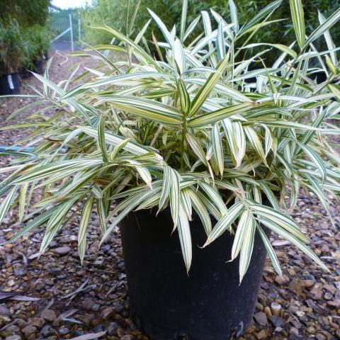 Clifton Nurseries Pleiblastus fortunei variegata - 10L