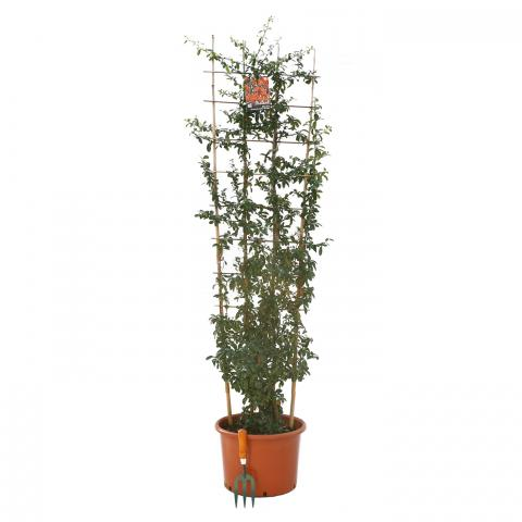 Clifton Nurseries Pyracantha Saphyr Orange Trellis