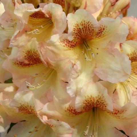 Clifton Nurseries Rhododendron Bernstein