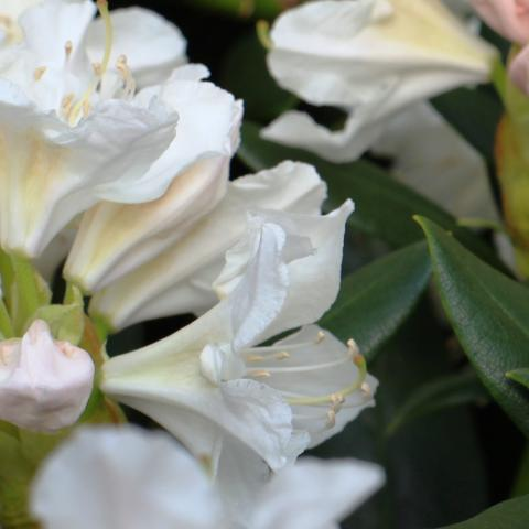 Clifton Nurseries Rhododendron Cunninghams White