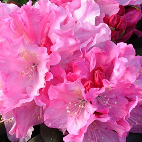Clifton Nurseries Rhododendron yakushimanum Kalinka