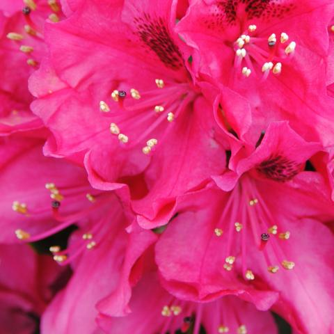 Clifton Nurseries Rhododendron Nova Zembla