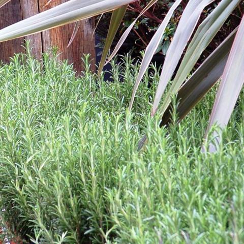 Clifton Nurseries Rosmarinus officinalis - Rosemary