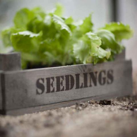 Clifton Nurseries Seedlings Tray