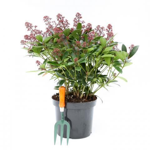 Clifton Nurseries Skimmia japonica Rubella 7.5 Litre