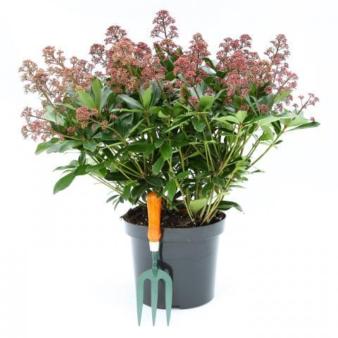 Clifton Nurseries Skimmia japonica Rubesta 7.5 Litre