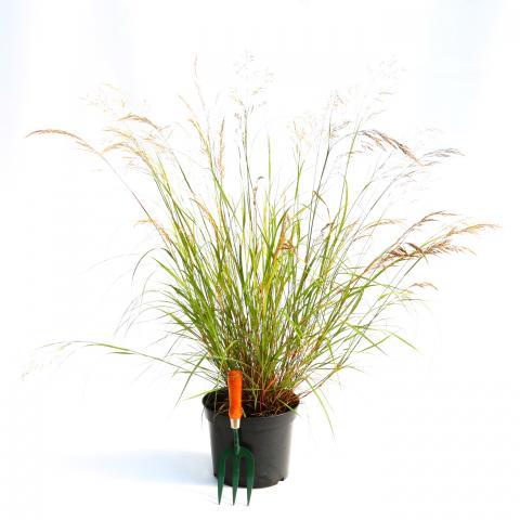 Clifton Nurseries Stipa calamagrostis 10L