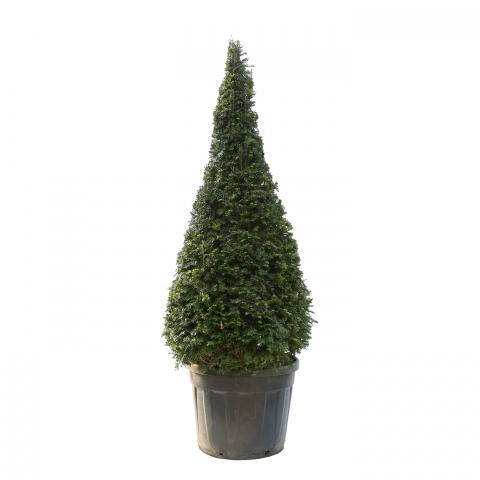 Clifton Nurseries Taxus baccata cone