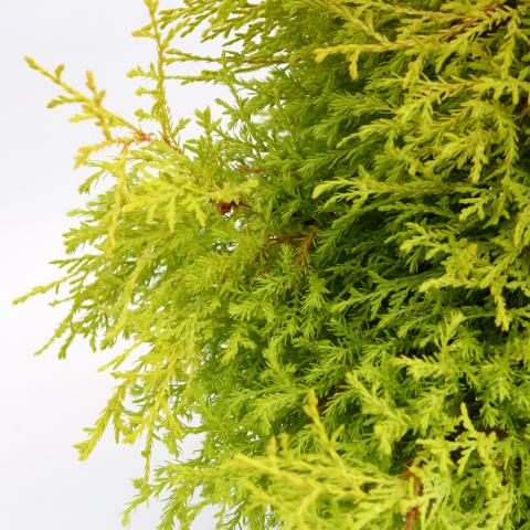 Clifton Nurseries Thuja occidentalis Reingold 5L - Detail
