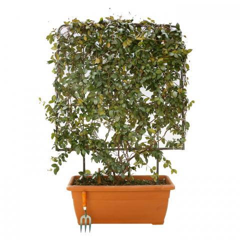 Clifton Nurseries Trachelospermum jasmionoides - Box Frame