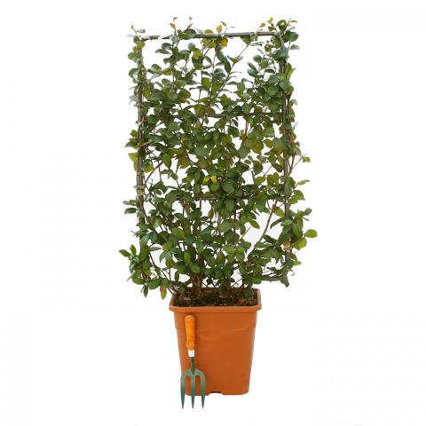 Clifton Nurseries Trachelospermum jasminoides - 18L Frame