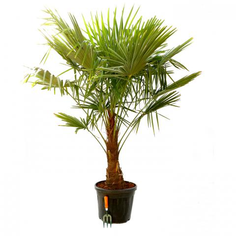 Clifton Nurseries Trachycarpus fortunei - Single Stem 35L