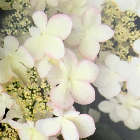 Clifton Nurseries Viburnum Kilimanjaro Sunrise - Flower in Spring