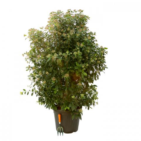 Clifton Nurseries Viburnum tinus Eve Price Bush 35L
