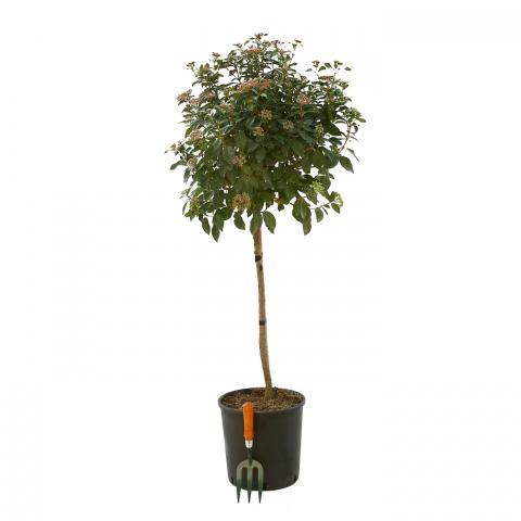 Clifton Nurseries Viburnum tinus Eve Price - Half Standard 12L
