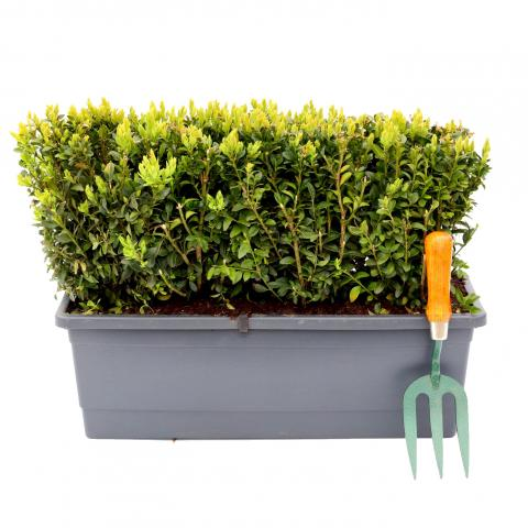 Clifton Nurseries - Buxus sempervirens - Trough